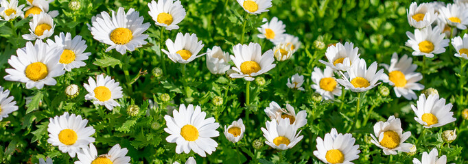 Blossoming spring meadow with chamomile flowers. Beautiful Blooming meadow in sunny day.