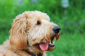 Goldendoodle outdoors. Dog is outside in a garden on a sunny summer day.