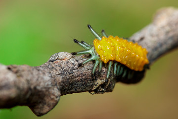 Image of an amber caterpillar on brown branch. Insect. Animal.