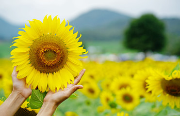 Woman hands are holding the bright yellow sunflower