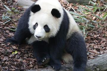 Autocollant pour porte Panda Panda is Posing Funny, Panda Valley, China