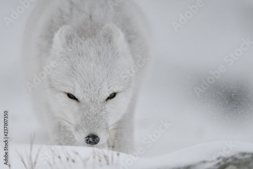 e22a5d69b35 Young Arctic fox in snowy landscape sniffs the snow