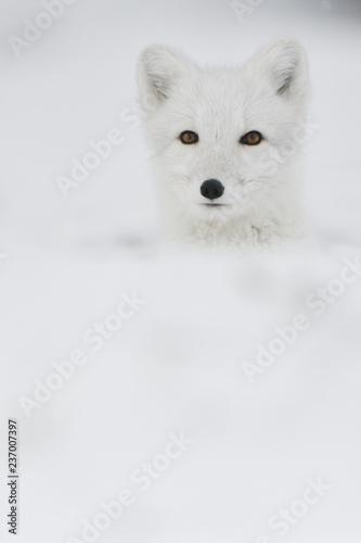 e5f5f61c9db Young Arctic fox in snowy mountain landscape