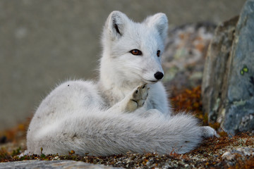 Young Arctic Fox scratches itself in mountain landscape