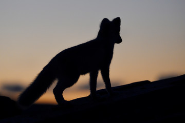 Silhoutte of young Arctic Fox at dawn