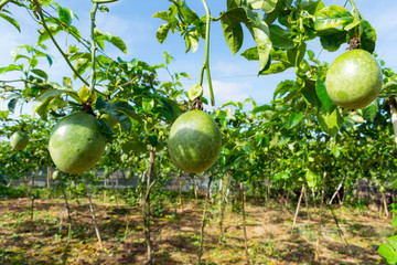 Unripe passion fruit, edible plant in the farm, picture use for advertising, design packaging and more