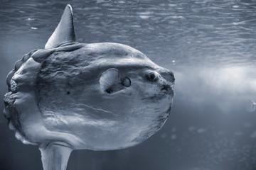 Detailed sunfish closeup