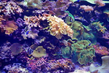 Banggai cardinalfish and other tropical fish between colored corals under water