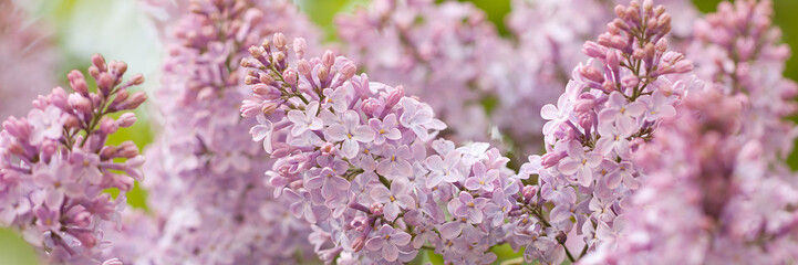 Photo sur Toile Lilac branch of a beautiful lilac lush blossoms in a summer park or garden