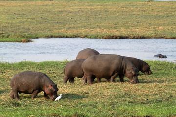 Flusspferde im Chobe Nationalpark in Botswana