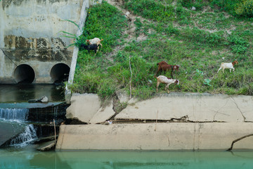 Herd of Goats walk to find eating around the .Irrigation canal
