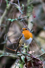 Robin perched in a tree with berries and lichen