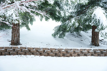 Redwood trees in the winter snow.  A perfect family portrait backdrop and large blank area for  text.