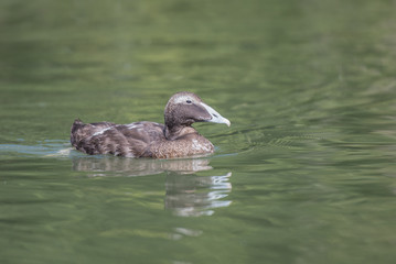 Female Eider duck