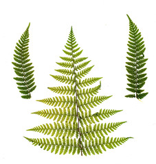 dried, pressed green fern isolated on white background.