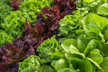leaf lettuce field