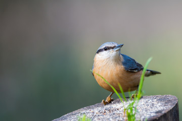 Sitta europaea or trepador azul perched on a branch with copy space for text