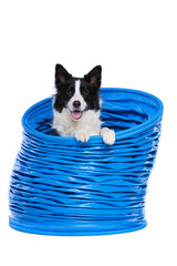 Border collie posing in a blue agility tunnel