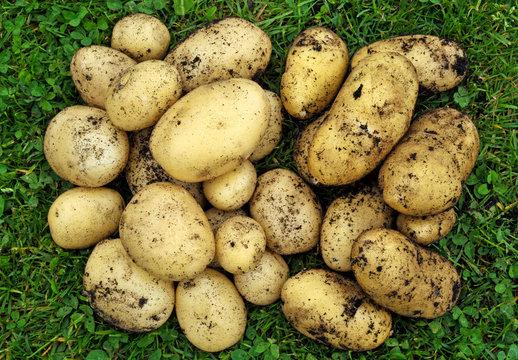 Freshly dug new potatoes