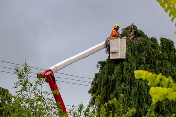 An arborist trims trees around power lines in New Zealand