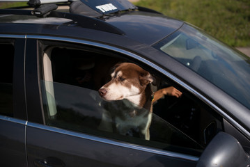 A dog sticks its head out the window of a car
