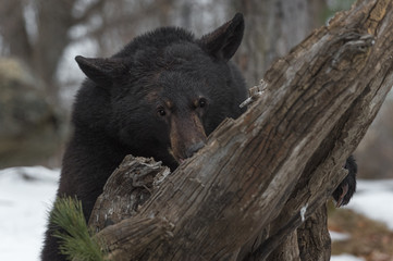 Wall Mural - Black Bear (Ursus americanus) Digs Into Log