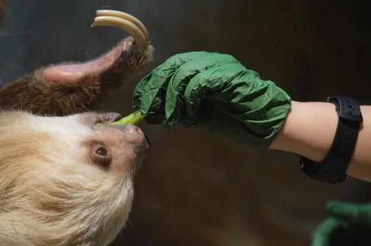 Zookeeper feeding a sloth