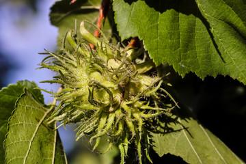 Turkish hazelnut, Corylus colurna, with still unripe fruit, Bavaria, Germany, Europe
