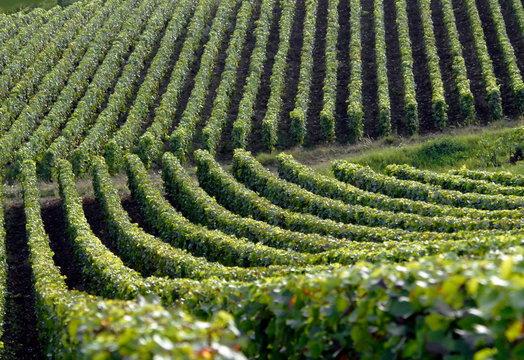 Vigne autour de la ville d'Epernay, vignoble de champagne, département de la Marne, France