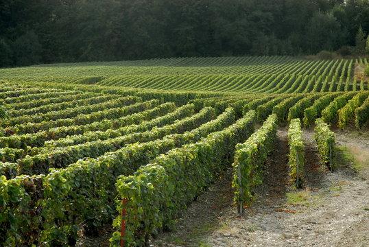 ville d'Epernay, vignoble, vignes, champagne, département de la Marne, France