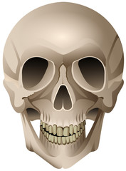 Human skull anatomical vector drawing isolated on white