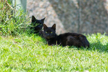 Two black cats on green grass