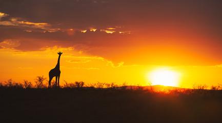Giraffe at sunset in African plains