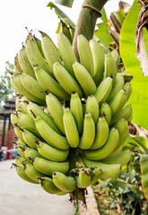Fresh branch of ripe bananas