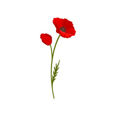 Blooming bright red poppy flowers with stem, floral design element vector Illustration on a white background