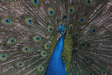 Portrait of an Indian peafowl or the blue peafowl