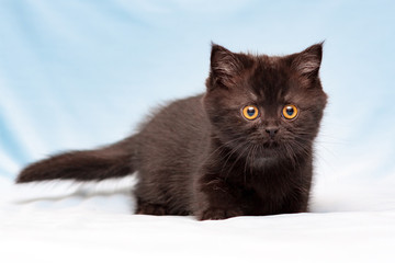Cute brown British kitten with orange eyes stands on a blue background and looks into the camera, front view.