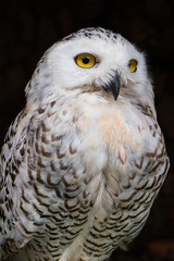A portrait of big white owl with yellow eyes on the dark background