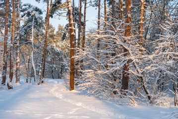 Winter snow forest. Snow lies on the branches of trees. Frosty snowy weather. Beautiful winter forest landscape.