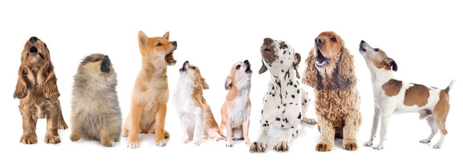 Wall Mural - group of dogs howling