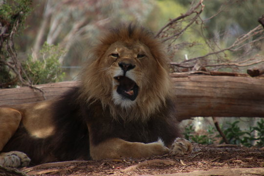 Male lion with a funny face mid yawn/roar