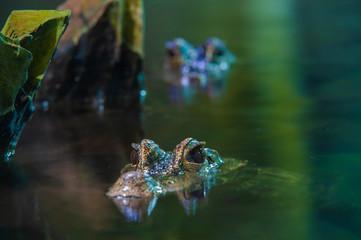 Alligatoren im Wasser