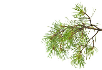 tree branch, pine isolated on white background