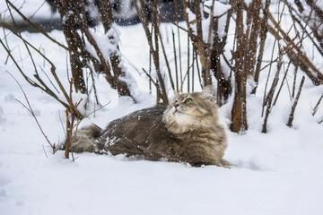Winter portrait Siberian cat