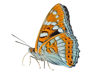 Butterfly (Limenitis sydyi lataefasciata) 1