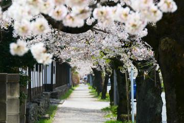 桜のトンネルを歩く。日本の春。長瀞、北桜通り。埼玉 日本。4月初旬。
