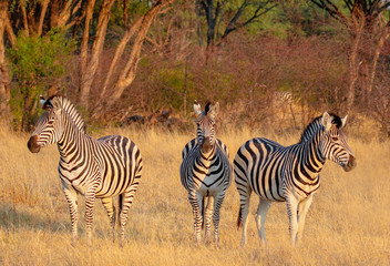 three zebras looking face on in hwange nature reserve