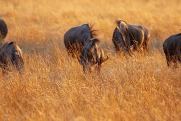small herd of wildebeest in hwange nature reserve zimbabwe