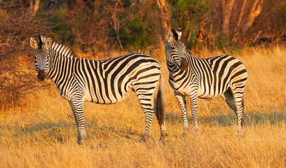 zebras in hwange nature reserve in zimbabwe