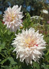 Dahlia cactus rose